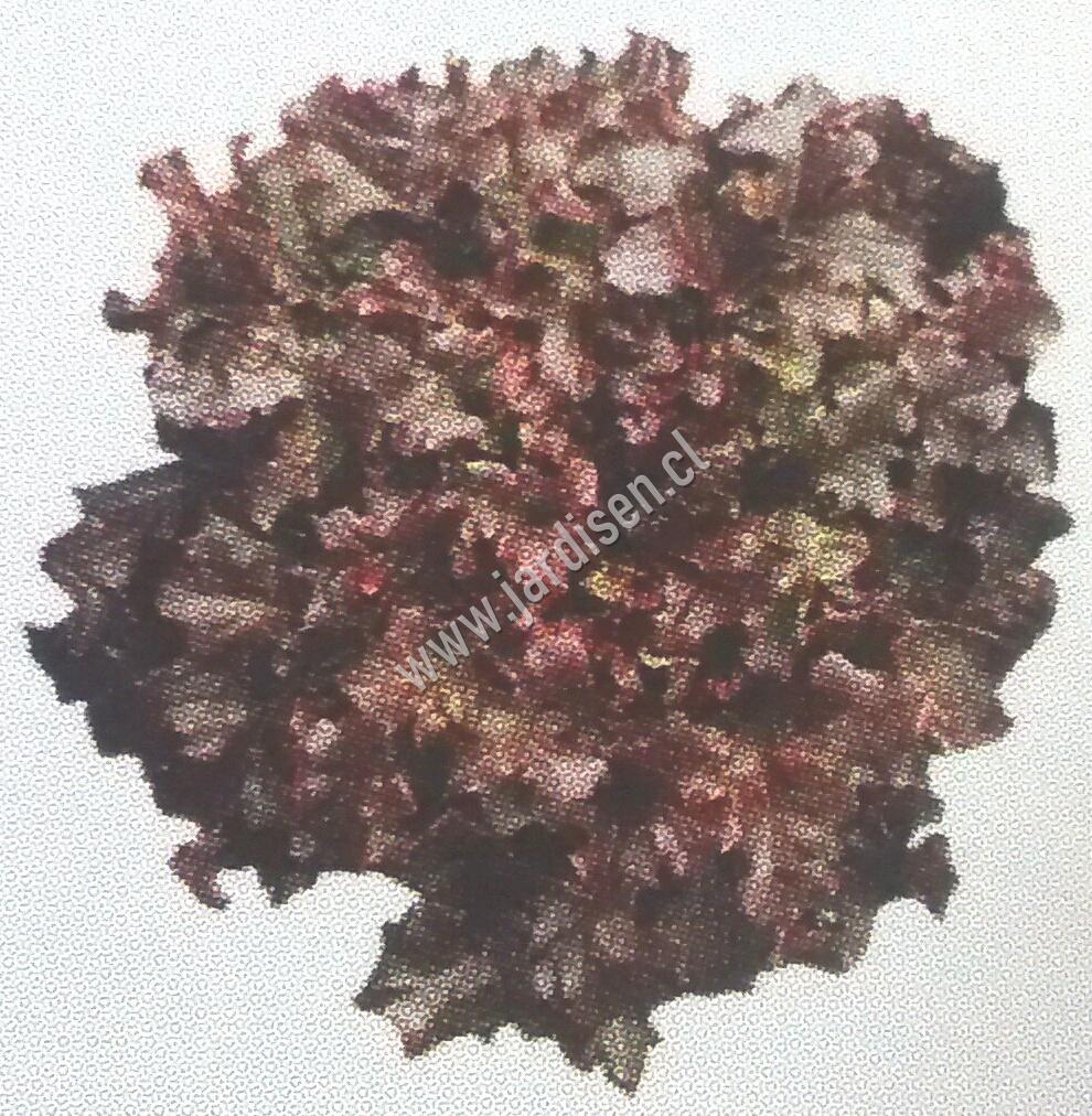 SEMILLA DE LECHUGAS HIDROPONICAS, lechuga, hidroponia. Fono 223145655.